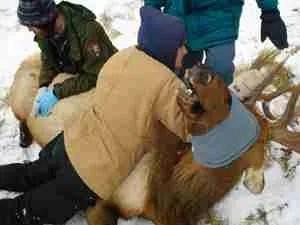 Restraining a sedated bull elk in Rocky Mountain National Park. ( JonGeller)