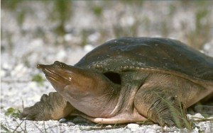 Florida softshell turtle (USGS)
