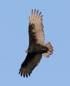 Turkey vulture flying. (www.birdinginformation.com)