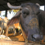"""""""Prevention of cruelty to animals overrides so-called tradition & culture"""" says Supreme Court of India"""