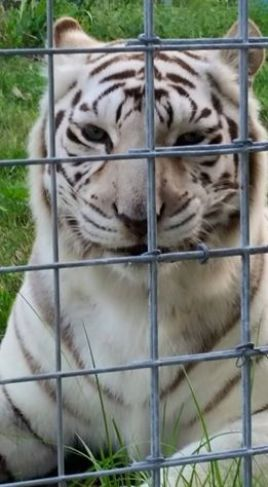 A white tiger at Big Cat Rescue. Some sanctuaries now have more cast-off white tigers than the sum of all white tigers ever reported in the wild. (Beth Clifton photo)