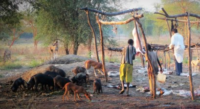Dogs and pigs scavenge for offal left by butchers in South Sudan Charles Hoots