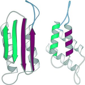 A normal prion protein (left) with an abnormally folded prion protein (right), present in animals bovine spongiform encephalopathy. Part of the normal helical form of the amino acids transform into fibrous sheets (arrows) in the abnormal form.