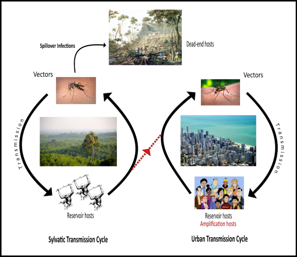Figure 1. Urban and Sylvatic Transmission Cycles of a Hypothetical Zoonotic Arbovirus 1. Sylvatic Cycle (at left): This involves transmission from mosquito vectors to nonhuman primate reservoir hosts to mosquito….. 2. Spillover Infections (at top): Occasionally, sylvatic virus will infect an exposed, susceptible person or two, such as when clearing virgin forest. These rarely spread, but may cause severe illness. 3. Urban Cycle (at right): virus transmission is from mosquito vectors to human reservoir hosts to mosquito…. Illness in infected persons is rare or mild. 4. Alternative cycles (in red): A. If the urban cycle is eliminated or suppressed (e.g. through vaccination, mosquito control), sylvatic virus may periodically spread to people in urban areas, causing an epidemic. Infected humans often become ill and spread the virus to biting mosquitoes. The outbreak eventually burns out when enough people have been infected that the virus cannot sustain itself. B. Occasionally one of these invading sylvatic viruses into an urban area adapts to people and uses them as reservoir hosts, establishing an urban transmission cycle where one did not exist before, or had been eliminated. This is the risk with trying to eliminate Zika virus in people without understanding the virus's hosts and vectors.