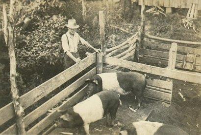 Backyard pigs