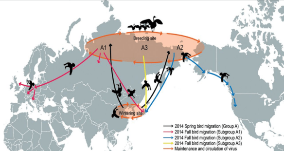 A depiction of the hypothetical relay spread of pathogens between migrating birds. On their northern breeding grounds in Siberia and Alaska, birds may come into contact with other birds that spend the winter far to the west or east of them, allowing diseases to spread between them. For example, some birds wintering in Korea may breed in eastern Siberia or Alaska, where they come into contact with birds that overwinter in North or even South America (represented by blue line in the map). Despite this link, use of this route by pathogens is surprisingly rarely exploited with success. Wikimedia
