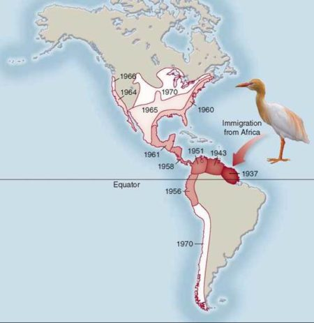 Map showing the expansion of cattle egret (Bubulcus ibis) populations in the Americas since their hypothetical arrival on a storm from Africa in 1937. Many cattle egrets in North America are migratory. Schoolbag.info