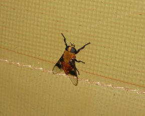 Horse fly (Ancala africana, I believe) inside my tent in Maban. These and other biting flies can spread trypanosomes between animals when a high portion of the animal population is infected.