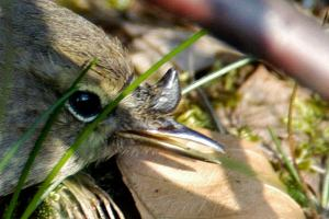 Tick feeding on a songbird James Lindsey