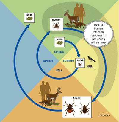 "Life cycle of the black-legged tick (Ixodes scapularis). Larvae hatch and feed on host; drop off to become nymphs; feed on a different host and drop off to become adult ticks; feed on a 3rd host and the females lay eggs. Larvae acquire B. burgdorferi from infected hosts, then can spread the bacteria to other hosts as nymphs and adults. In eastern states, only the blacklegged tick efficiently and commonly transmits B. burgdorferi between people and other animals. Because of this, it is called a ""bridging"" vector, unlike the other species that predominantly bite wildlife (and occasionally pets). They are called ""maintenance"" vectors. CDC"