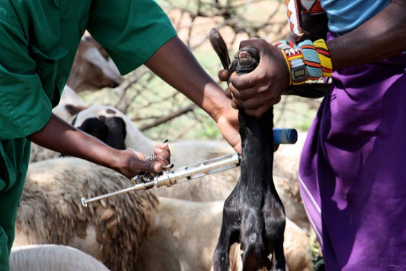 Vaccinating goats against peste des petits ruminants in Kenya, 2013. ©ECHO/Martin Karimi