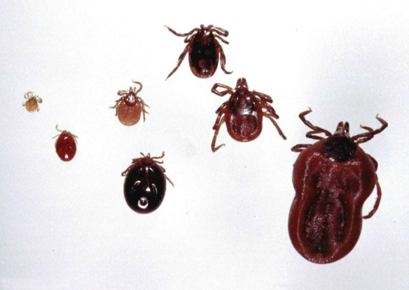 Various stages of the Ixodes ricinus tick, the primary vector of Lyme disease in Europe. These demonstrate the significant size differences in the various stages and why it is more likely that the immature tick stages will go undetected by their prey when seeking a blood meal. Left to right: unfed larva; engorged larva (following blood meal); unfed nymph; engorged nymph; unfed male adult; unfed female adult; partially engorged female adult. Alan R Walker
