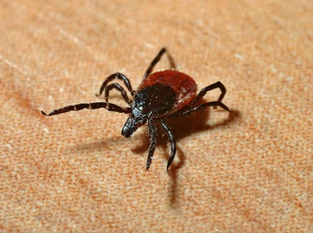 Ixodes tick. Primary bridging vectors for Lyme disease. Jerzy Gorecki