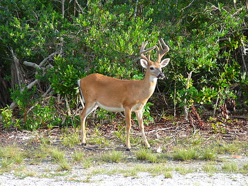 A Key deer buck (Odocoileus virginianus clavium). The endangered Key deer descend from mainland white-tailed deer isolated on the archipelago when rising sea levels submerged the area around 15,000 years ago. The subspecies is smaller in size, more saltwater tolerant, and reproduces more slowly than white-tailed deer. Averette