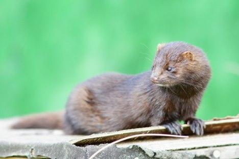 Image result for american mink