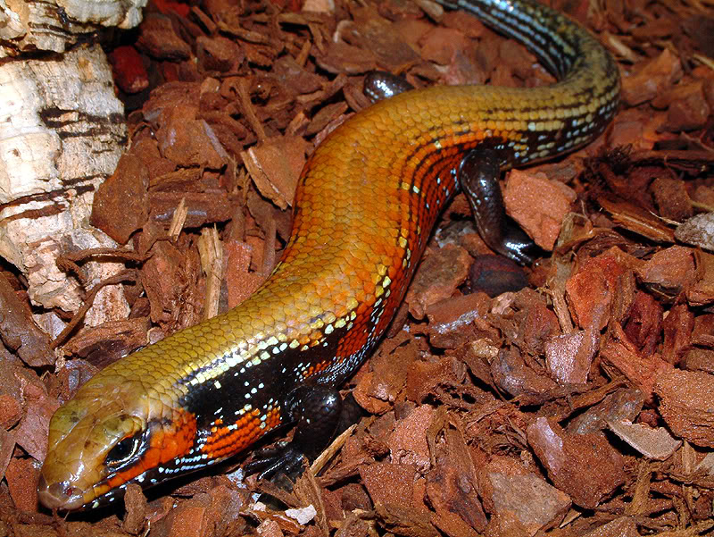 https://i2.wp.com/www.animalspot.net/wp-content/uploads/2011/10/Fire-Skink-Photos.jpg