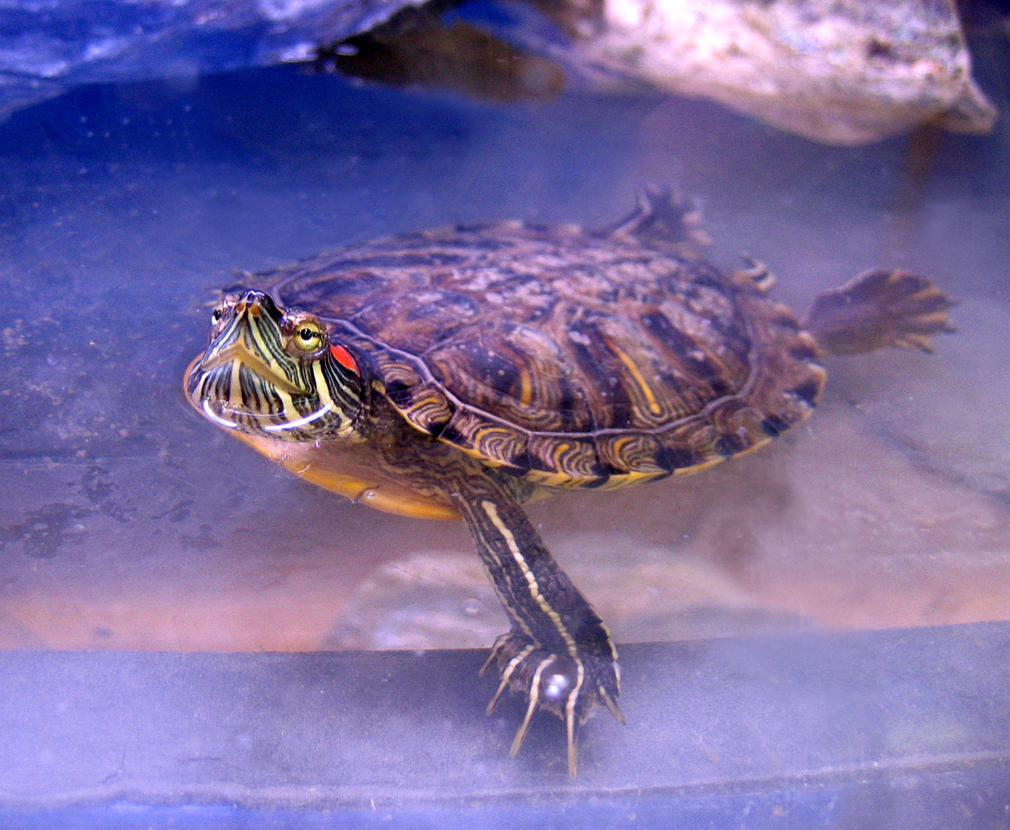 Red Eared Slider Turtle Facts Habitatt Pet Care Pictures