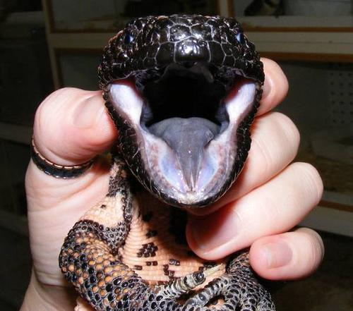 Gila Monster Mouth