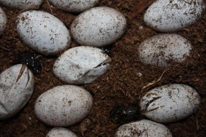 The Blue Tongue Skinks eggs