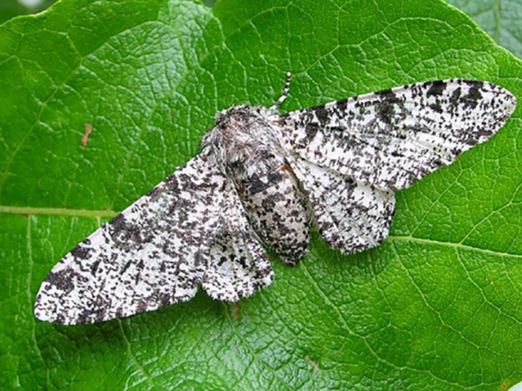 Peppered Moth Facts Habitatt Life Cycle Baby Pictures