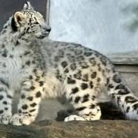 Snow Leopard Facts For Kids - Snow Leopard Habitat & Diet