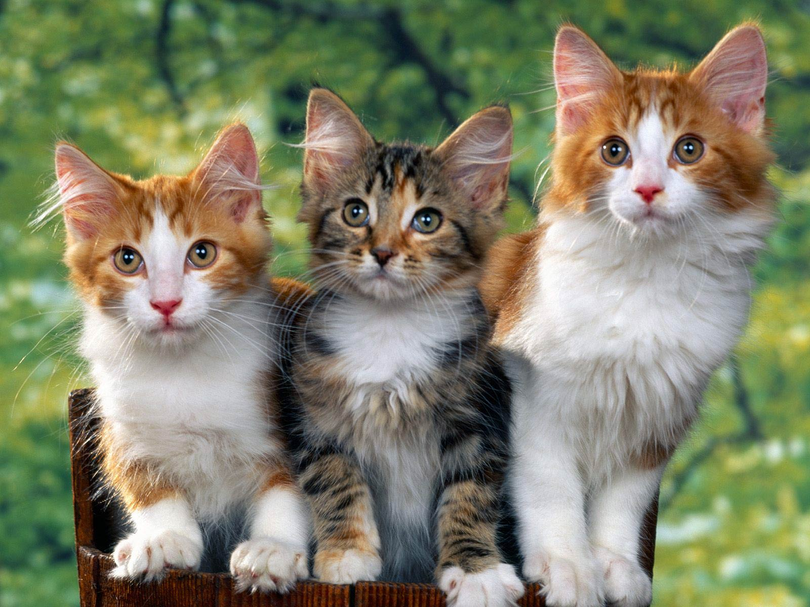 Cat Wallpaper   Animals Town free Cat wallpaper wallpapers download