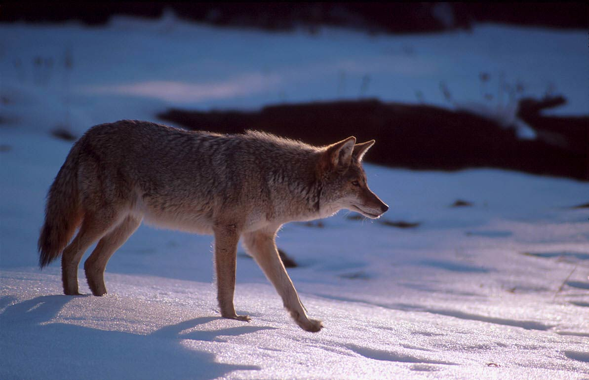 Free Coyote Wallpaper Animals Town