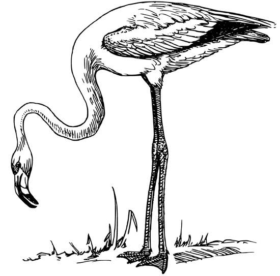 Flamingo Coloring Page Animals Town Free Flamingo