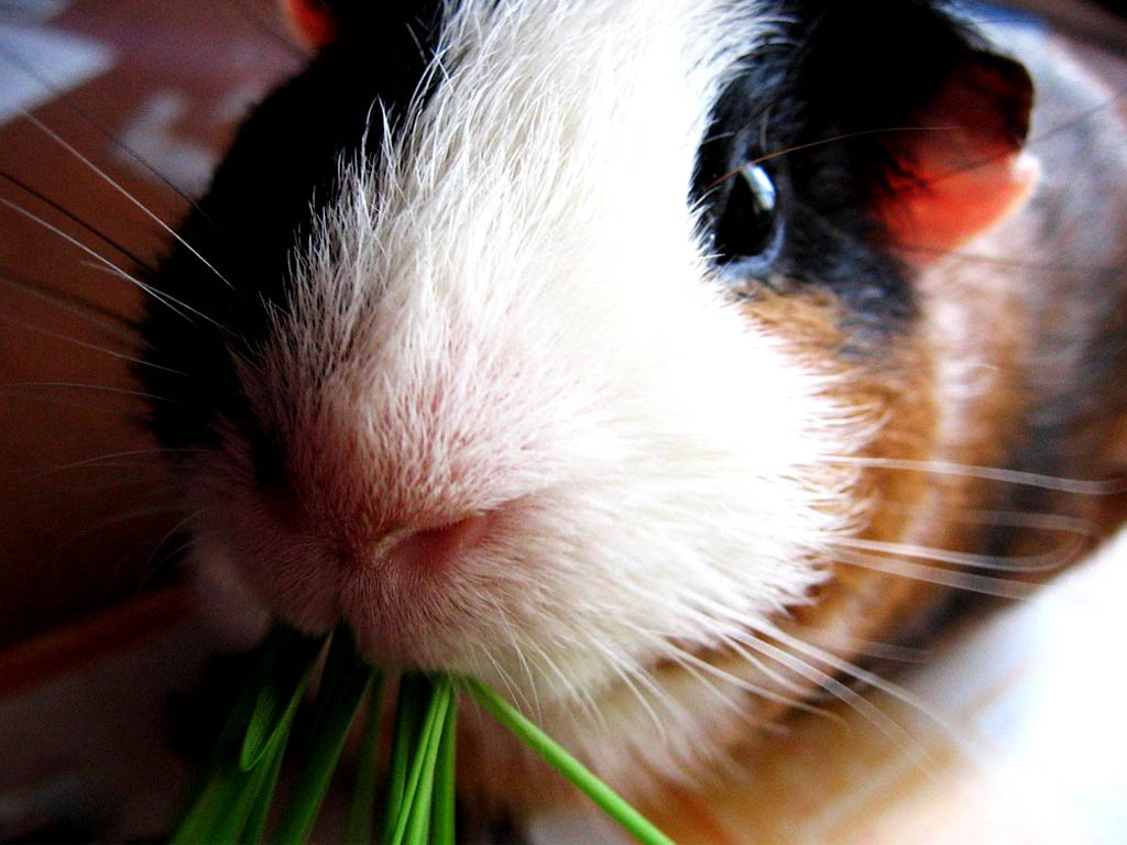 Guinea Pig Wallpaper And Background