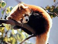 red panda animals town