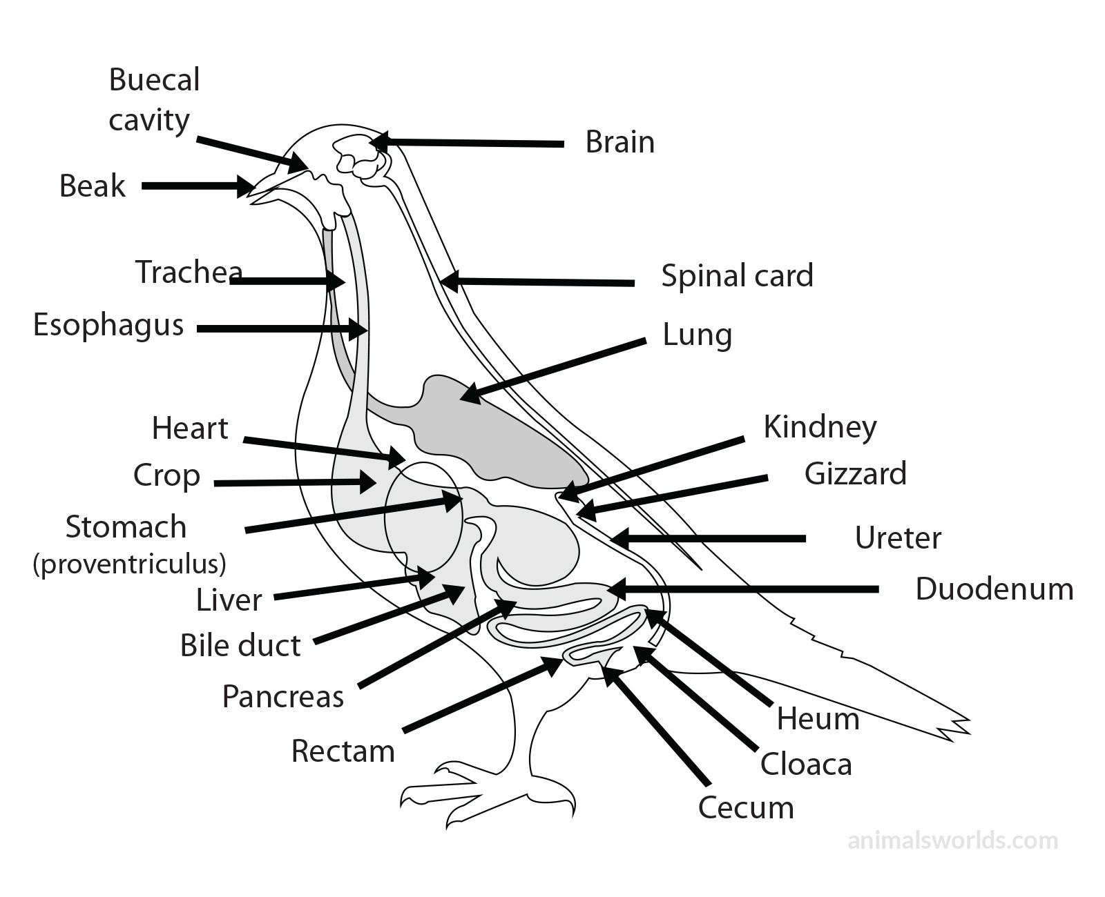 Internals Birds Anatomy Internal Parts Of A Bird With