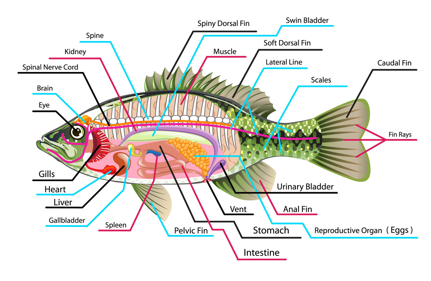 Internal Anatomy Of Fish Internal Parts Of Fish With Diagram