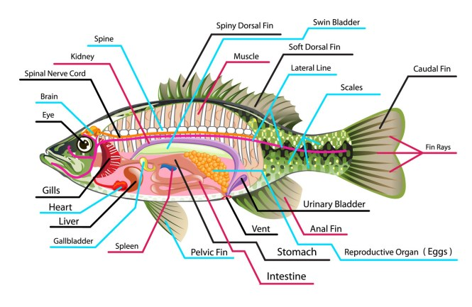 Diagram of a fish the best fish 2018 diagram of respiratory system man fish ccuart Images