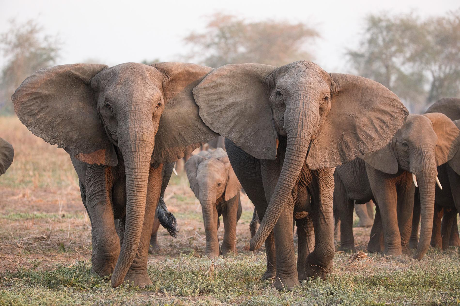 Bajo la presión de la caza furtiva, los elefantes están evolucionando para perder sus colmillos.