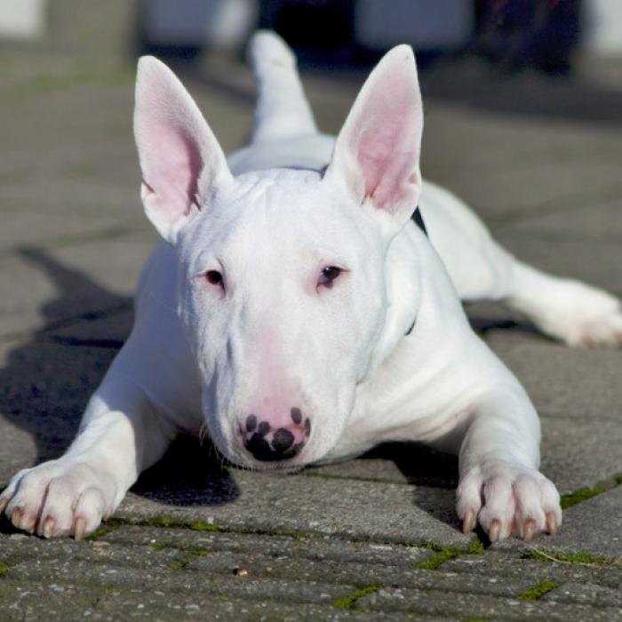 %name Pitbull Dog Breed Facts