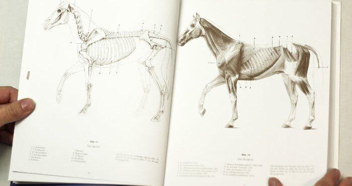 """Croquis de l'anatomie du cheval tiré du livre """"Grand cours d'anatomie artistique"""""""