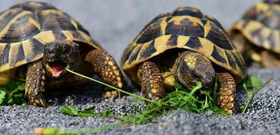 La tortue d'Hermann une tortue terrestre Intrigante