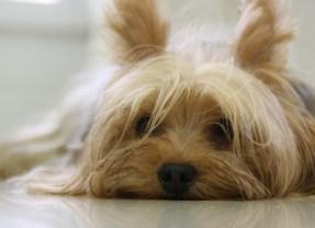 Les astuces pour prendre soin de son Yorkshire-terrier