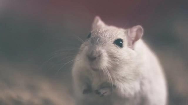 comment éduquer votre rat de compagnie