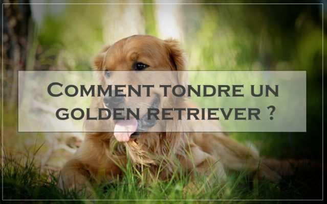 Comment tondre un golden retriever