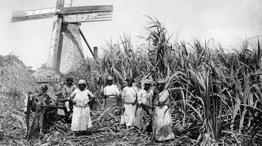 Photo of a group of enslaved Black women standing in a field of sugar cane.