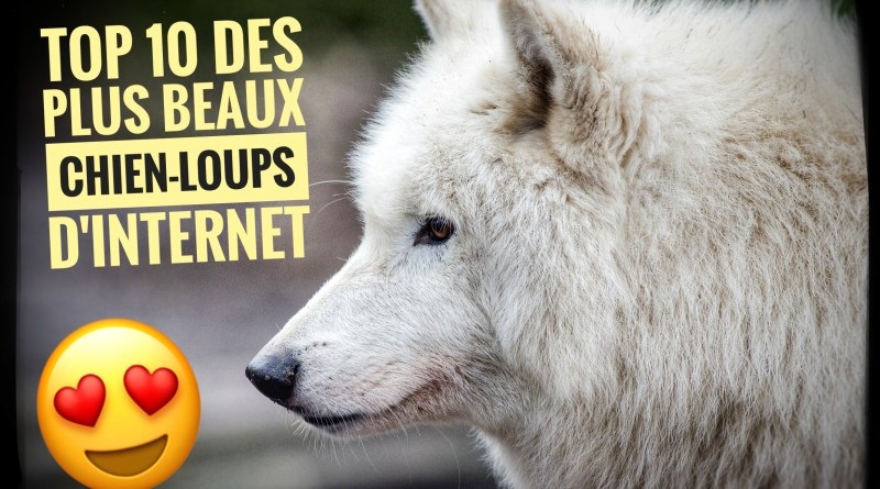 image chien loup