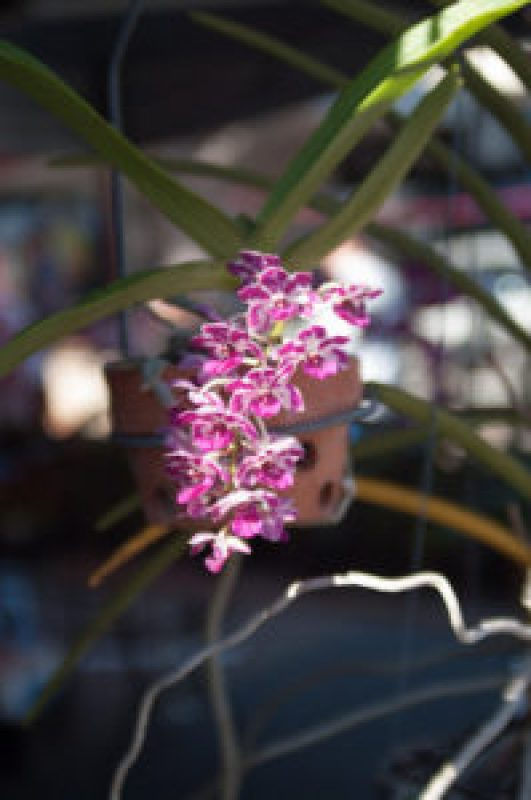 Orchid at the Cleveland Markets, Brisbane QLD Australia 20150802-VPR00327.jpg