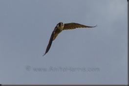 Peregrine Falcon, - Kealia Ponds, Maui  IMG_0375_w