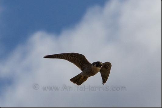 Peregrine Falcon, - Kealia Ponds, Maui IMG_0380_w
