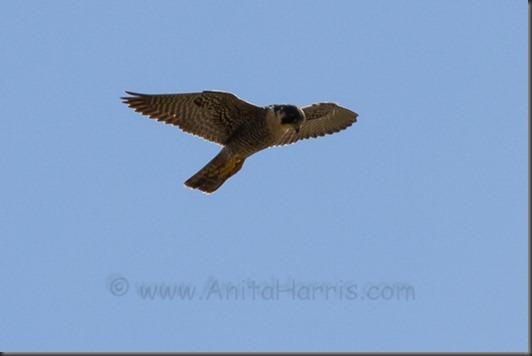 IMG_0385_Peregrine Falcon, - Kealia Ponds, Maui w