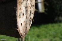 Eine Mauerbienendrohne wartet auf ein Weibchen