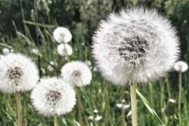 Drømme om det simple liv og forældreskab