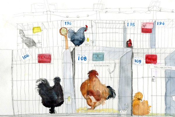 Drawing of different breeds of chickens in cages.
