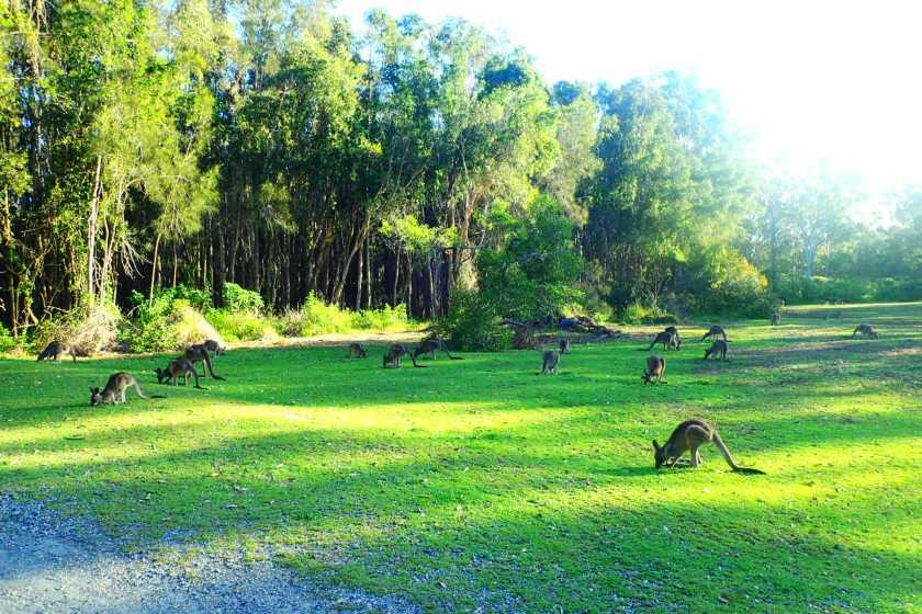 Coombabah Lakelands kangooroos
